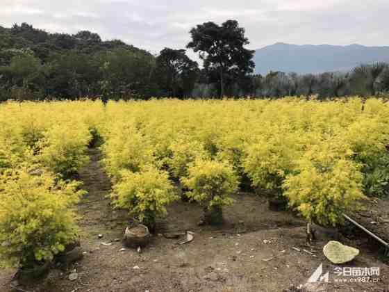 黄金宝树  黄金香柳 高1.2米批发