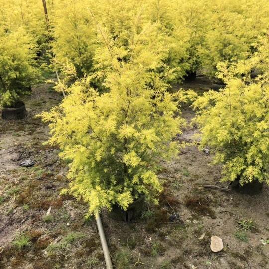 高1.2米黃金寶樹  黃金香柳批發