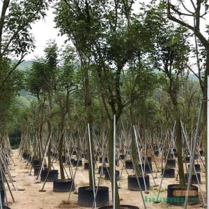 黄花风铃木  高度6米