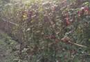 蔓性风铃花