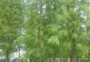 6公分落羽杉