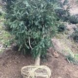 香榧苗  10公分香榧苗  挂果香榧树