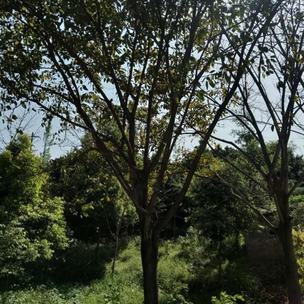 黄葛树价格_黄葛树 - 中国花木网
