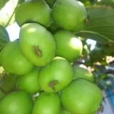 圆枣子猕猴桃苗