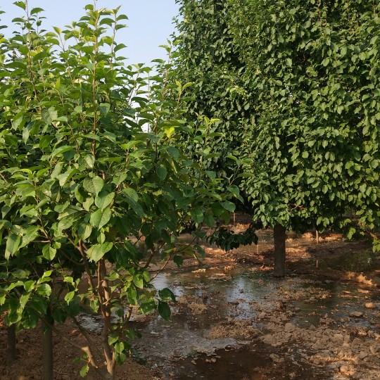 河北八棱海棠樹