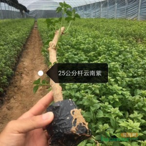 云南紫三角梅小苗  大量批发供应