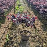 金华35公分高红花继木大杯苗