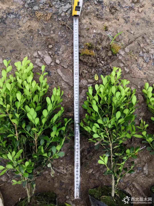 金华40公分高瓜子黄杨大杯苗