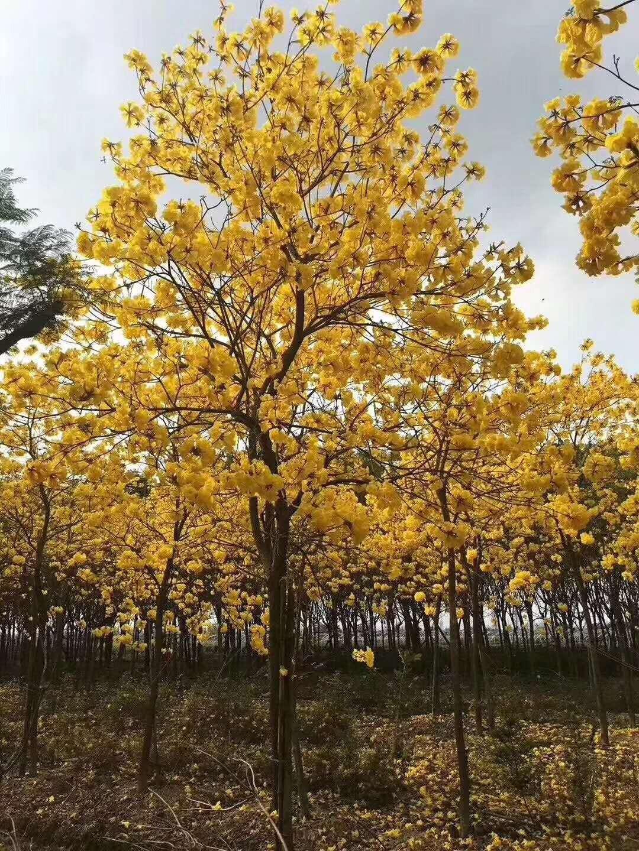 地径20公分黄花风铃木