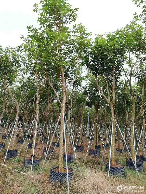 地徑20公分黃花風鈴木
