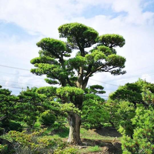米径25公分日本造型罗汉松