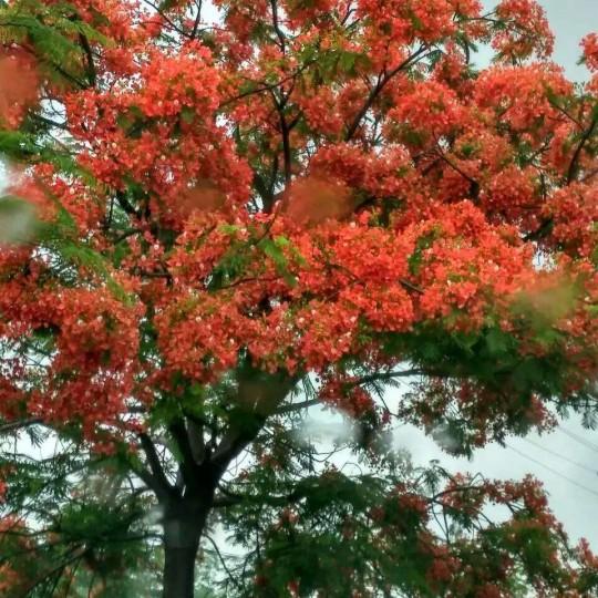 漳州鳳凰木