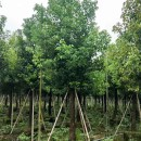 漳州香樟袋苗