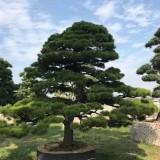漳州造型黑松