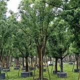 漳州米径15公分全冠香樟树