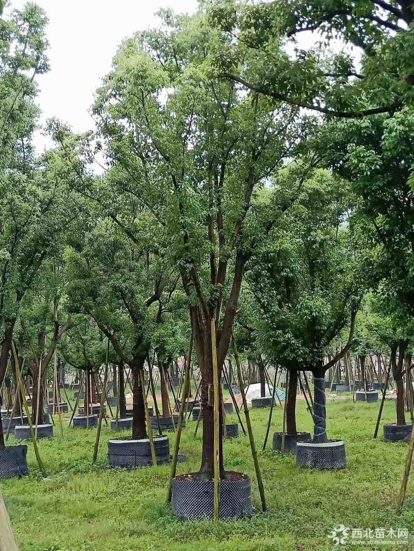 漳州米徑15公分全冠香樟樹