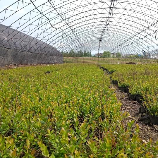 蓝莓苗批发出售