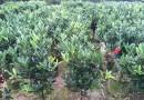 四季红山茶
