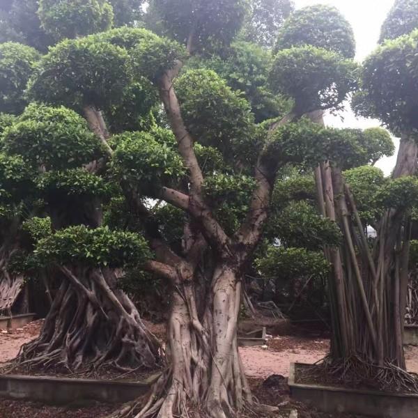 小规格榕树桩景