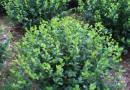 三角梅球规格1.2米*80紫色球 三角梅 三角梅球价格