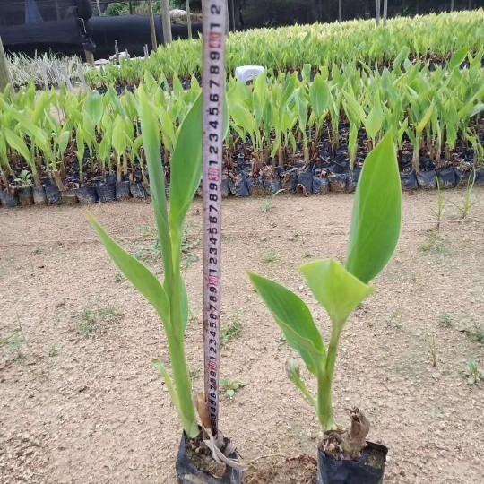 福建高15-30公分美人蕉