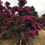 高4米紫色造型杜鹃