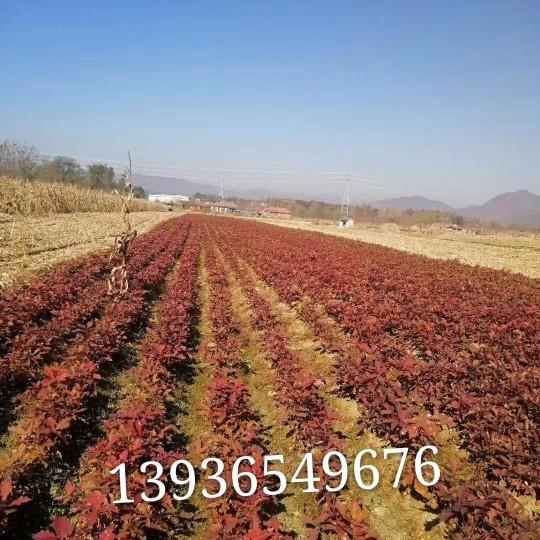 東北蒙古櫟小苗