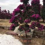 漳州紫色造型杜鹃