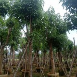 福建12公分腊肠树(阿孛勒)
