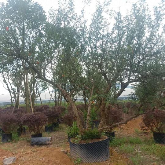 福建高3.5-4.5米石榴树
