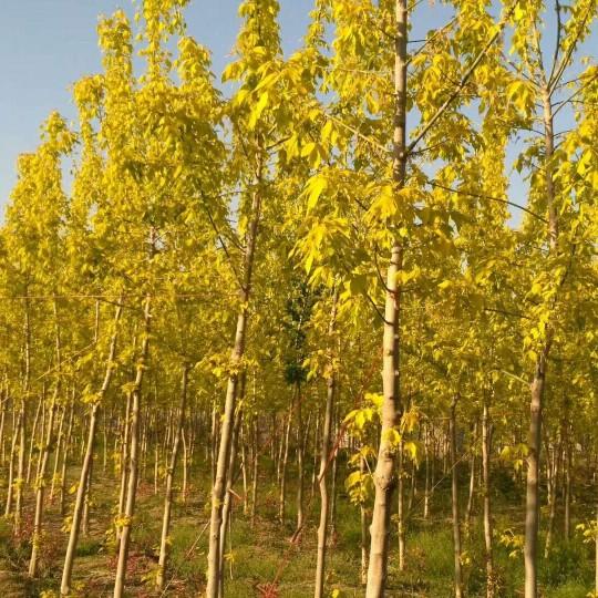 12公分金叶复叶槭基地直销