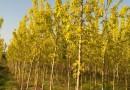 胸径3-16公分金叶复叶槭 哪里买金叶复叶槭