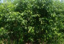 福建茶场地批发  高度20---30 公分  价格0.95元