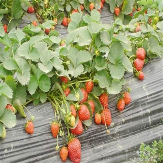 甜查理草莓苗基地直销