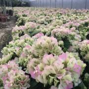 40公分高樱花三角梅批发价格 樱花三角梅盆苗
