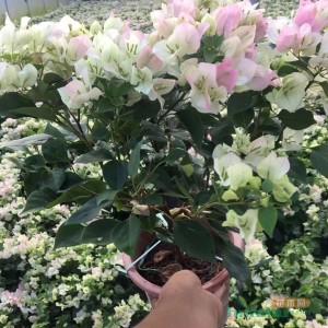 樱花三角梅批发价格