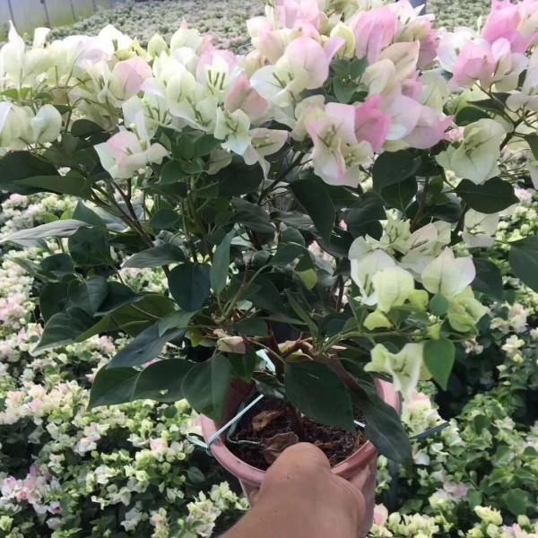 福建樱花三角梅苗,绿叶樱花三角梅,批发价格