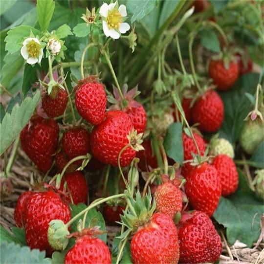 章姬草莓苗价格
