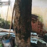 百年老龙眼树