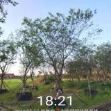 精品朴树15公分