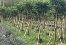 35公分绿樱红三角梅小苗