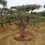 泰安造型松观赏景观