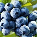 莱克西蓝莓基地现起苗
