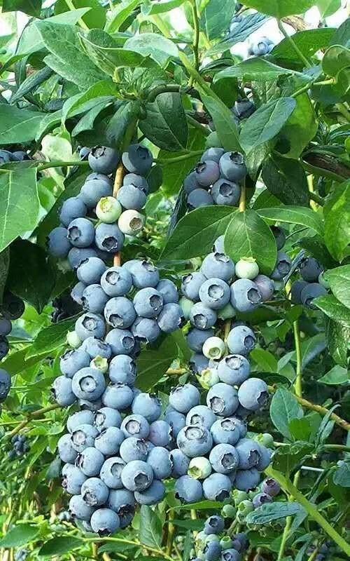 奥尼尔蓝莓北陆蓝莓批发