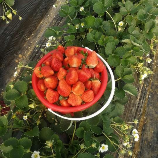 泰安30公分牛奶草莓苗