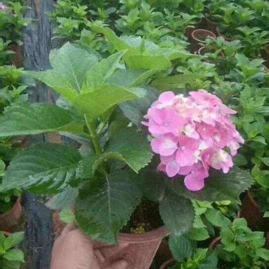 福建漳州繡球花八仙花