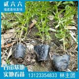 千屈菜水生植物價格1.1元
