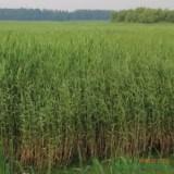 福建漳州芦苇价格1.1元