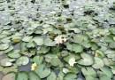 福建漳州40公分高睡莲