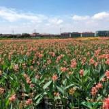 福建漳州30公分美人蕉袋苗